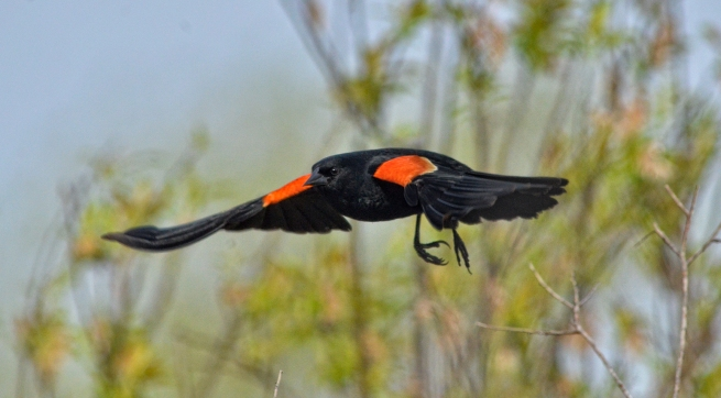 Red-winged blackbird in flight WEB