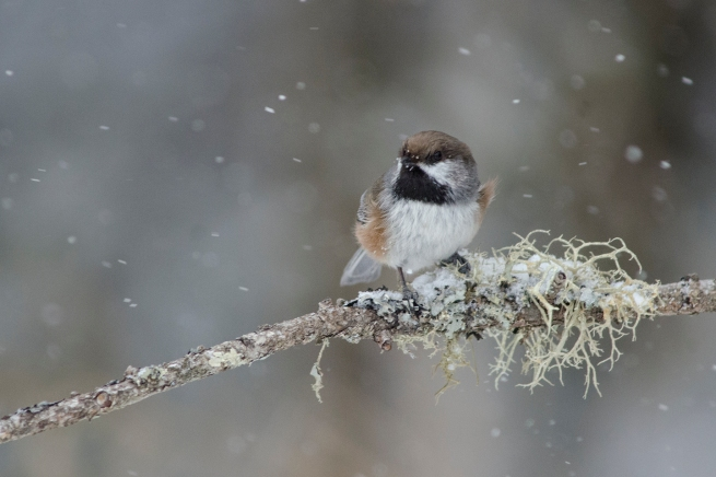 Boreal Chickadee copy