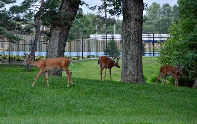 Deer Como Park