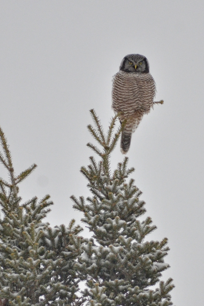 Hawk Owl copy