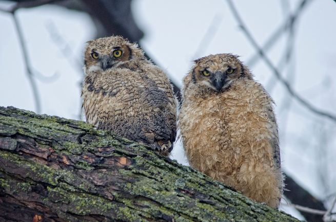 2013 owlets