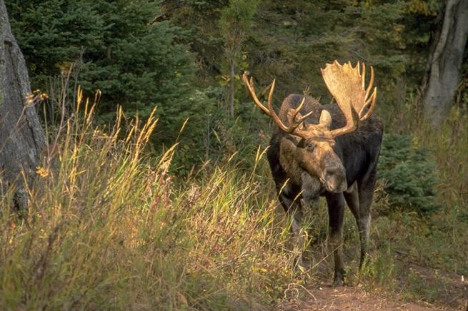 Moose 21 WEB