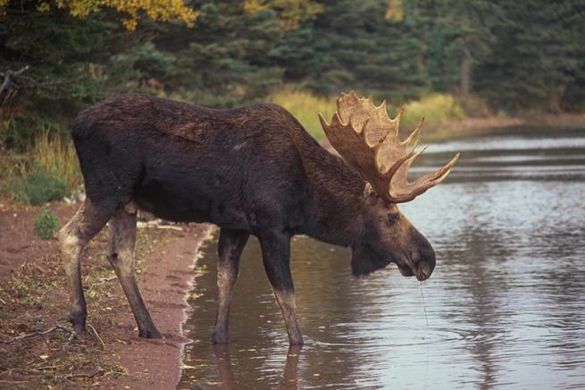 Moose 5 WEB