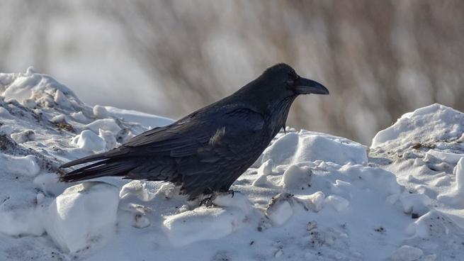 Raven WEB