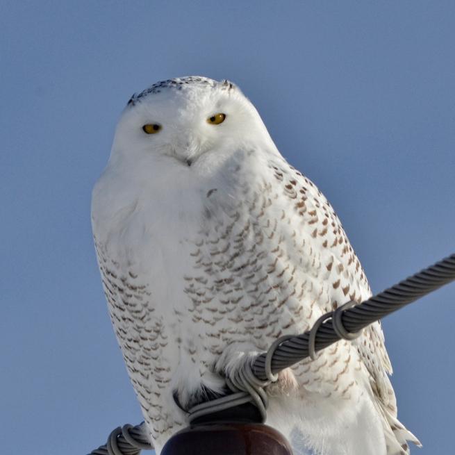 Snowy Owl 2 WEB