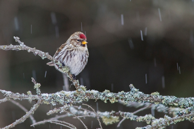 Common Redpoll WEB