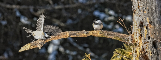 Black-capped chickadees WEB