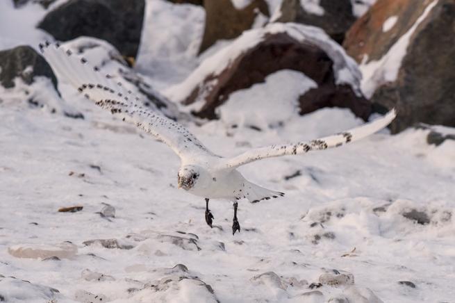 Ivory Gull 3 WEB