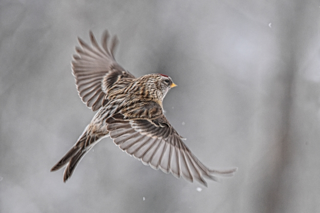 Redpoll in flight WEB