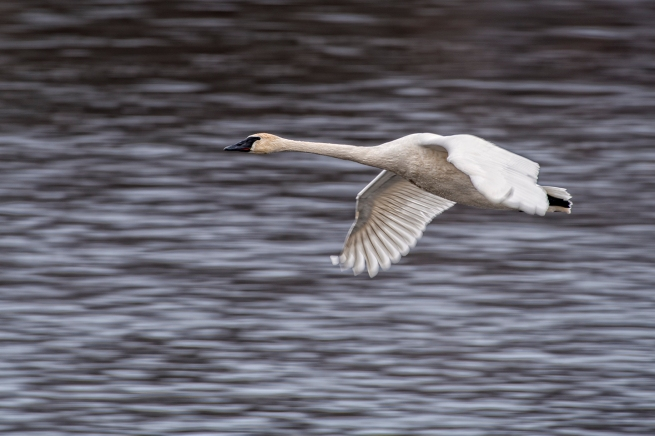 Swan in flight 1 WEB
