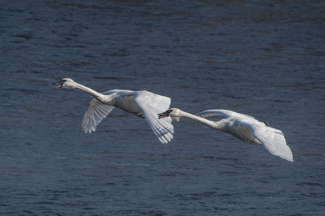 Swans in flight 1 WEB