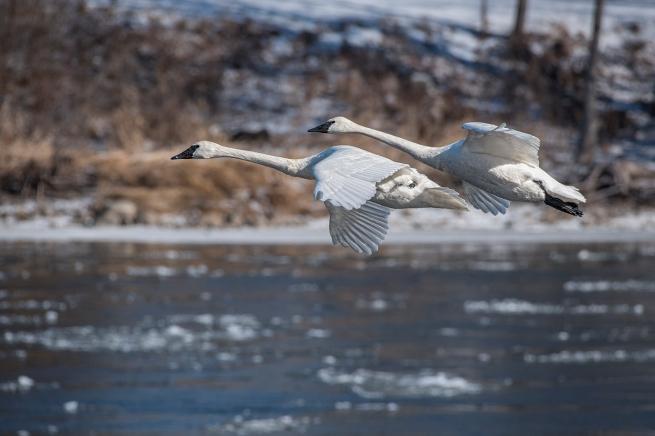 Swans in flight 2 WEB copy