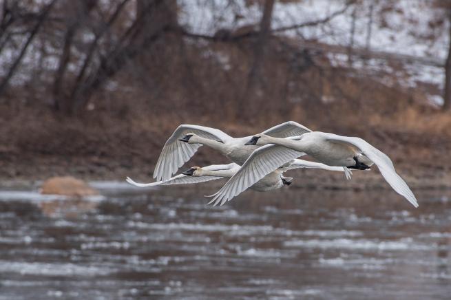 Swans in flight 3 WEB