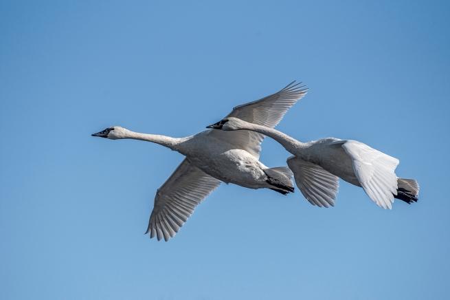 Swans in flight 4 WEB