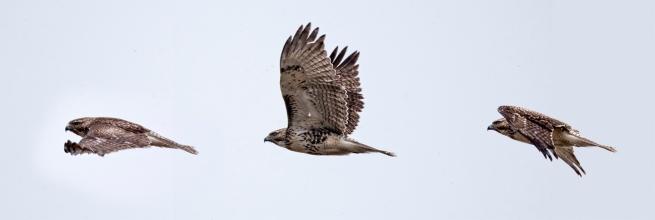 Hawk x 3 WEB