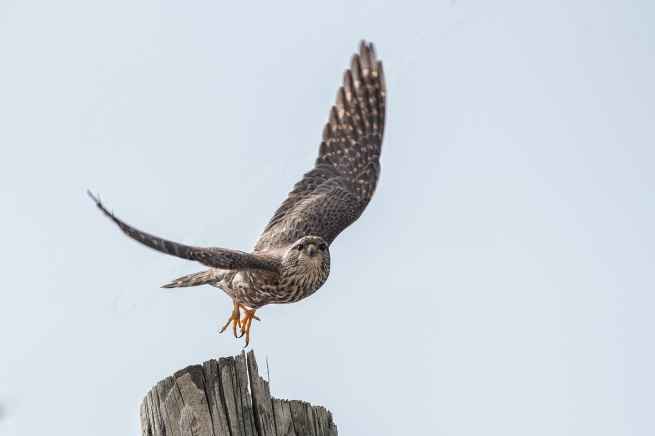 Merlin in flight 1 WEB