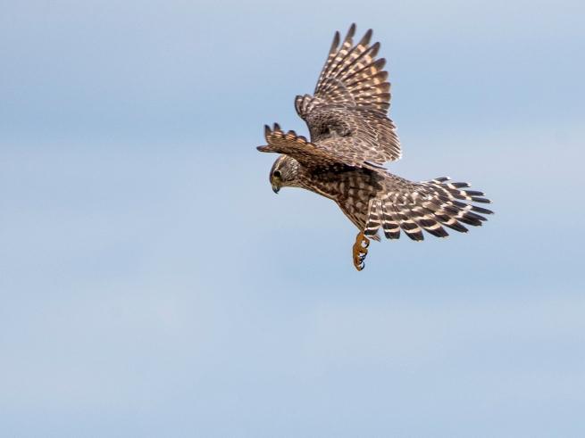 Merlin in flight 2 WEB