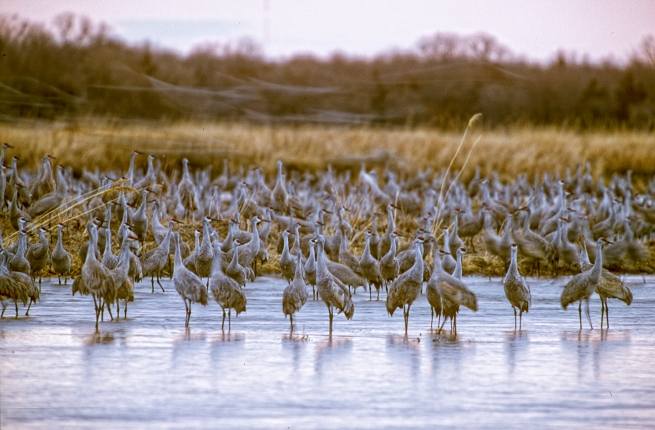 Sandhill crane dawn 3 Platte WEB