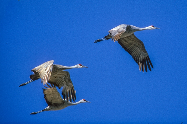 Sandhill crane flying Platte WEB