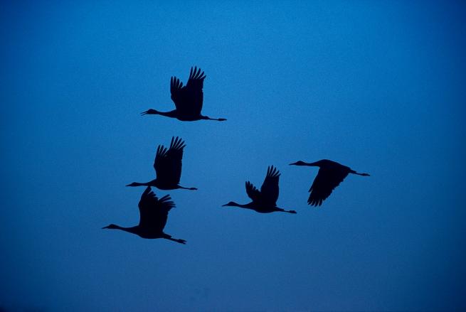Sandhill crane silhouette WEB