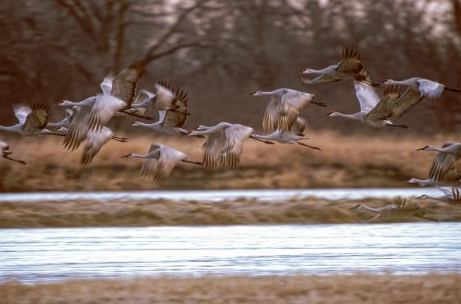 Sandhill cranes WEB