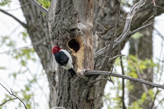Red-headed woodpecker 2 WEB
