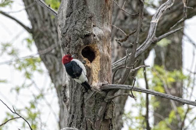 Red-headed woodpecker 2 WEB