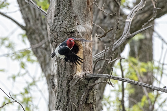 Red-headed woodpecker in flight 1 WEB