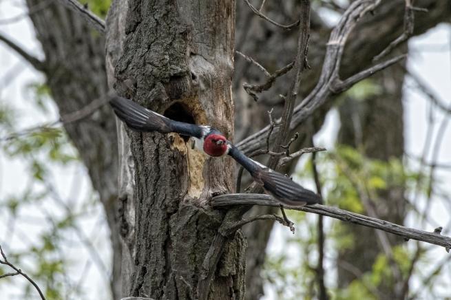 Red-headed woodpecker in flight 2 WEB