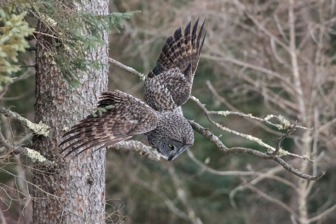 Great Gray Owl 3 0622 WEB