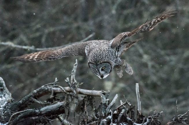 Great Gray Owl 4 1449 WEB