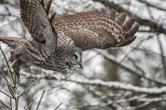 Great Gray Owl 6 2109 WEB