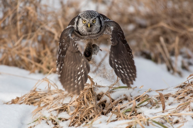 Northern Hawk Owl 0182 WEB