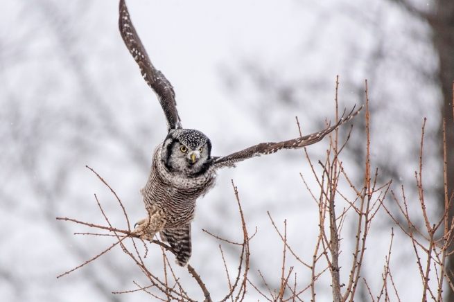 Northern Hawk Owl 2271 WEB