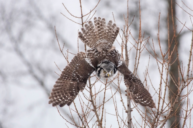 Northern Hawk Owl 2273 WEB