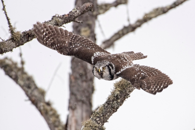 Northern Hawk Owl 2313 WEB