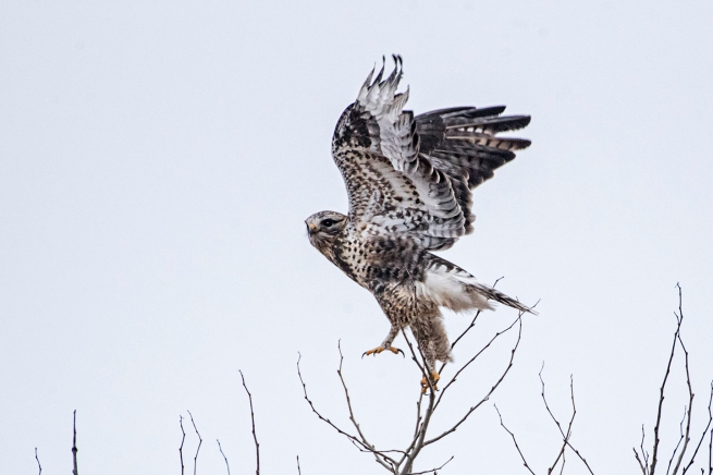 Rough-legged Hawk 1 0895 WEB