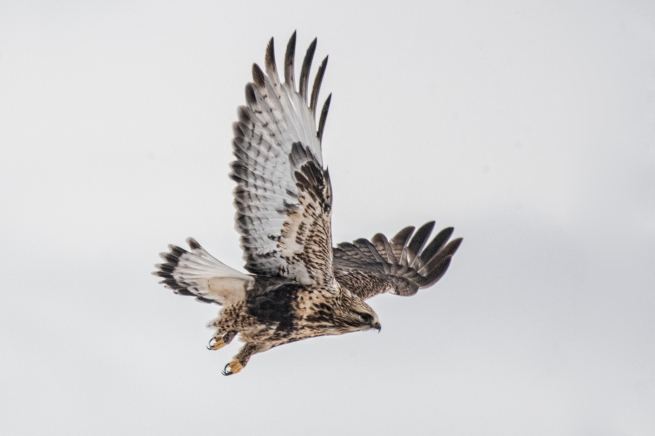 Rough-legged Hawk 2537 WEB
